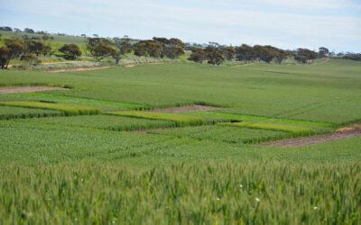 Sulphur deficiency research in lentils & wheat: dune swale soils (NSS114)