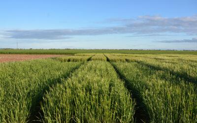 Efficiency of various fertiliser N products on sandy soil types (AS116)