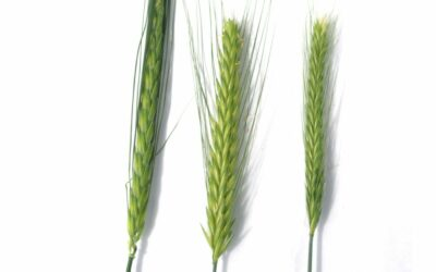 Barley germplasm development phase 2 – evaluation of bulbosum genes and implementation for barley improvement (S0610R)