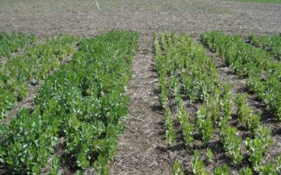 Optimising Legume Inoculation for dry sowing (S716)