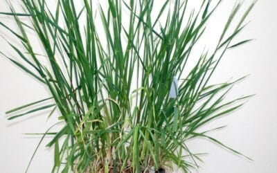 Barley germplasm development phase 2 – evaluation of bulbosum genes and implementation for barley improvement (S0601R)