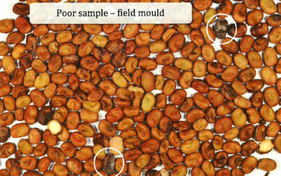Mould of faba bean seed affecting seed quality and meeting export standards (S1203)