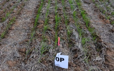 Evaluating the agronomic and financial benefits of P-efficient cereal varieties (UA1201)