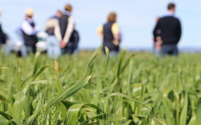 Manipulating seed nutrient content to improve vigour and yield in wheat (UA1203)